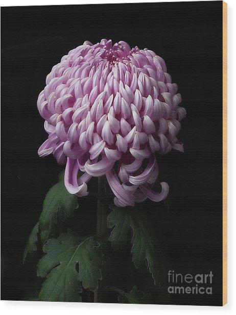 Chrysanthemum 'jefferson Park' Wood Print