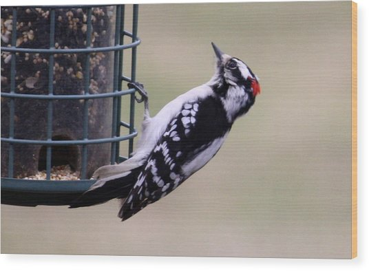 Downy Woodpecker Wood Print by Annie Babineau
