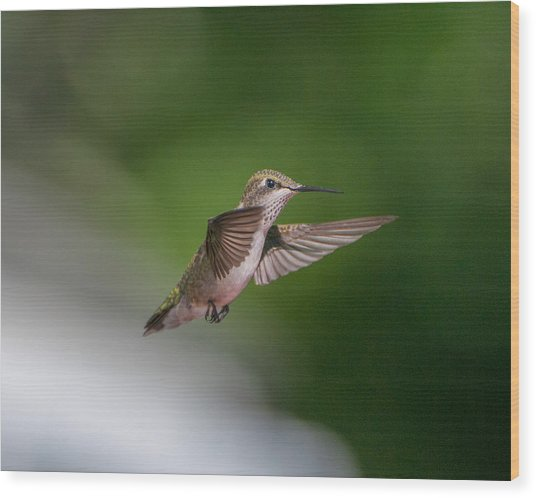 Female Ruby Throated Hummingbird Wood Print