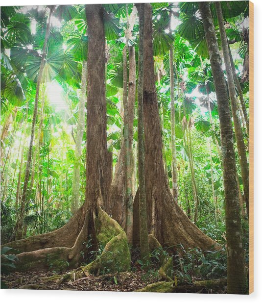 Gigantic Trees In Fan Palm Forest Wood Print