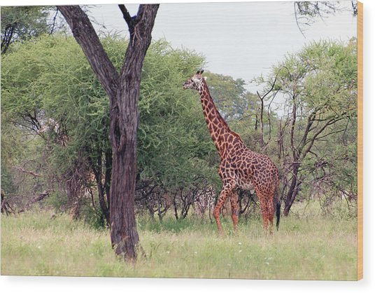 Giraffes Eating Acacia Trees Wood Print