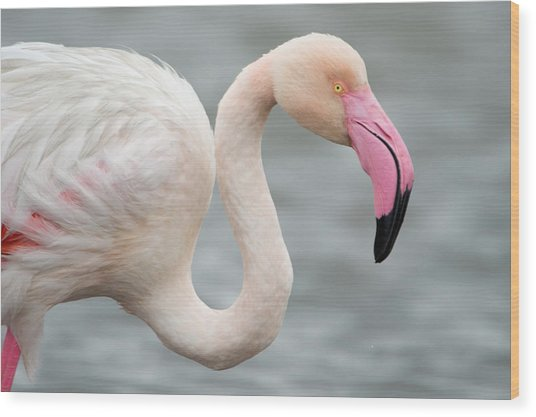 Greater Flamingo Phoenicopterus Roseus Wood Print