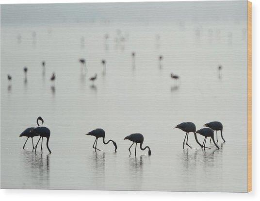 Greater Flamingos Phoenicopterus Roseus Wood Print
