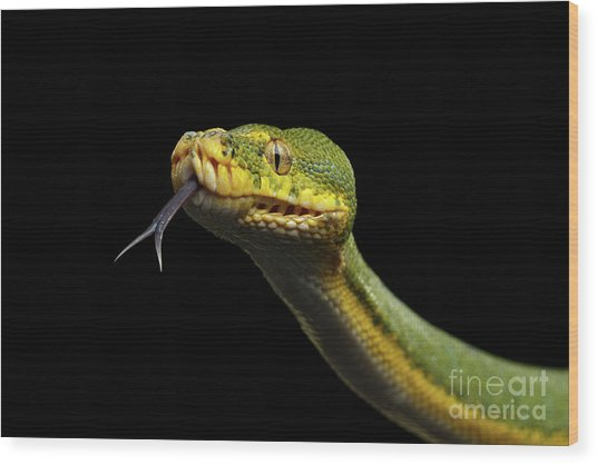 Green Tree Python. Morelia Viridis. Isolated Black Background Wood Print