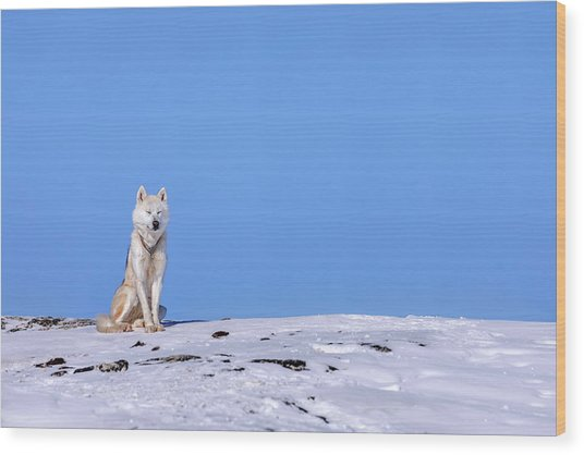 Huskies In Ilulissat, Greenland Wood Print