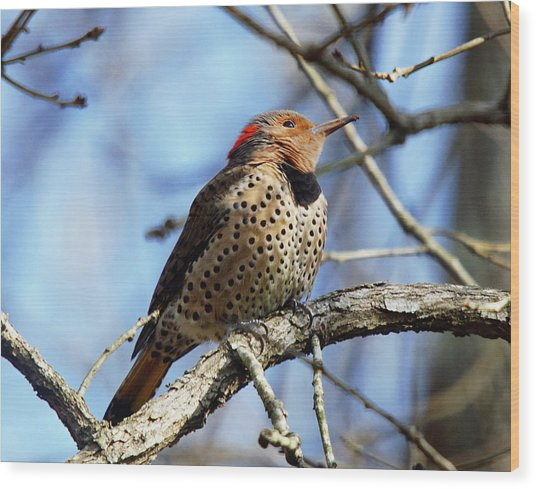 Northern Flicker Woodpecker Wood Print