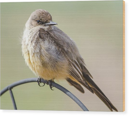 Say's Phoebe Wood Print