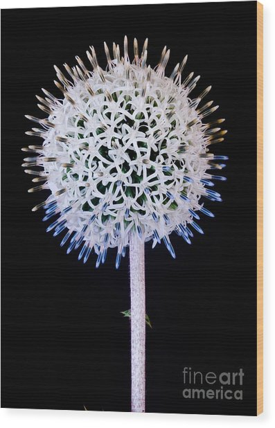 White Alium Onion Flower Wood Print