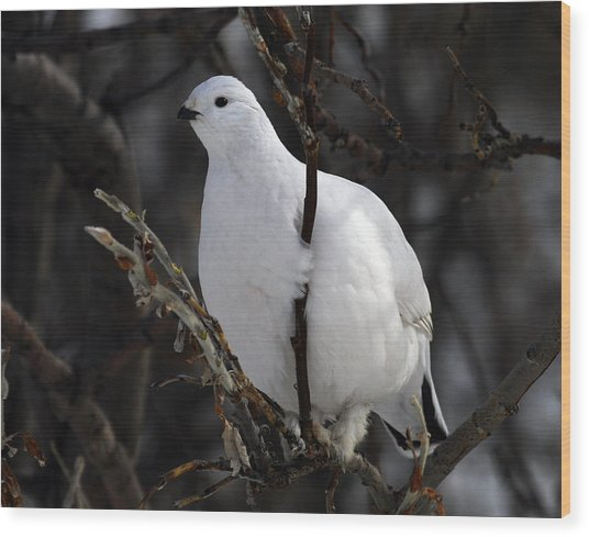 Willow Ptarmigan Wood Print