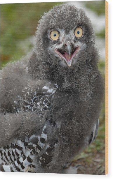 Baby Snowy Owl Wood Print