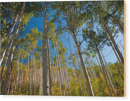 Colorado Aspens Wood Print by Terry Runion