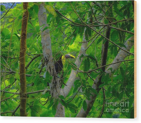 Chestnut-mandibled Toucan Wood Print
