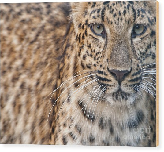 Leopard Wood Print by White Stork Gallery