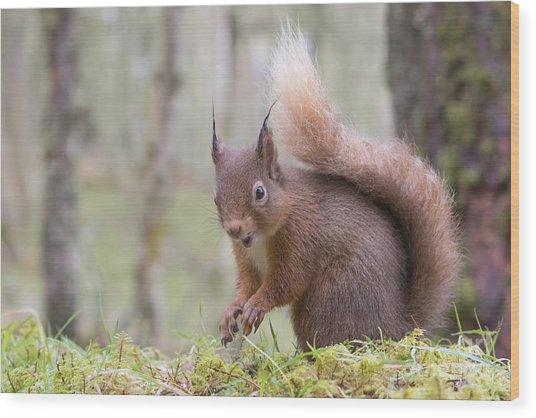 Red Squirrel - Scottish Highlands #8 Wood Print