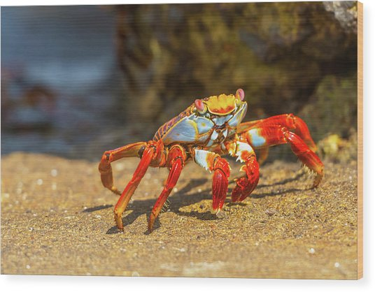 Sally Lightfoot Crab On Galapagos Islands Wood Print
