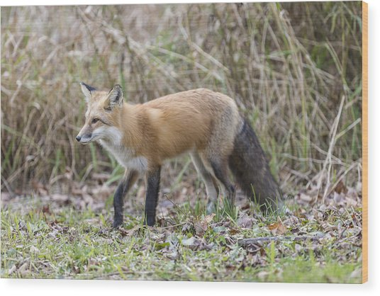 Wild Red Fox In The Wild Wood Print