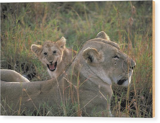 Angry Lion Cub Wood Print by Carl Purcell
