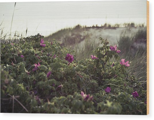 Rose Bush And Dunes Wood Print