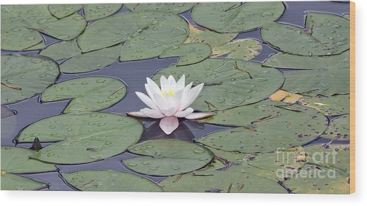 Water Lily In The Pond Wood Print
