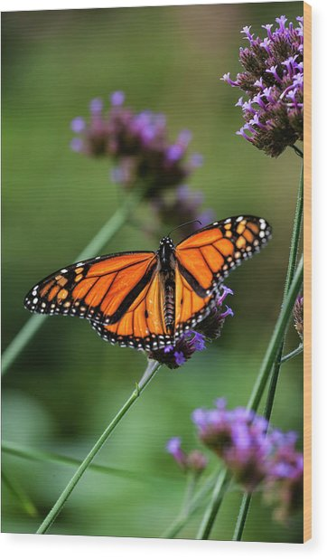 Monarch Butterfly Wood Print by Robert Ullmann