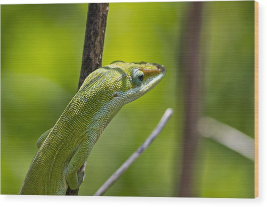 Wood Print featuring the photograph Green Lizard by Willard Killough III