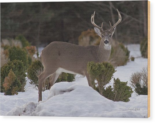 Wood Print featuring the photograph 8 Point Beauty by Angel Cher