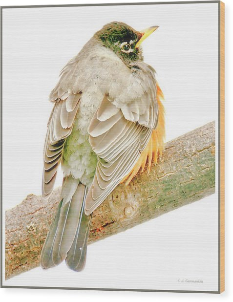 American Robin Male, Animal Portrait Wood Print