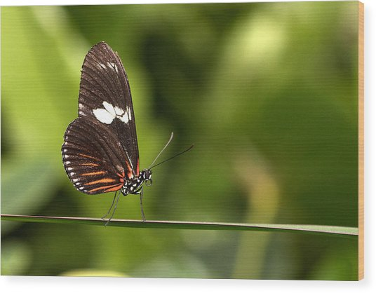 Butterfly Wood Print by Theo Tan