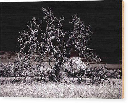 90237 Texas Live Oak Wood Print