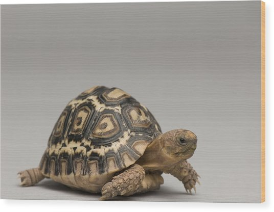 A Baby Leopard Tortoise At The Lincoln Wood Print