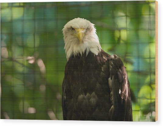 A Bald Eagle At The Lincoln Zoo Wood Print