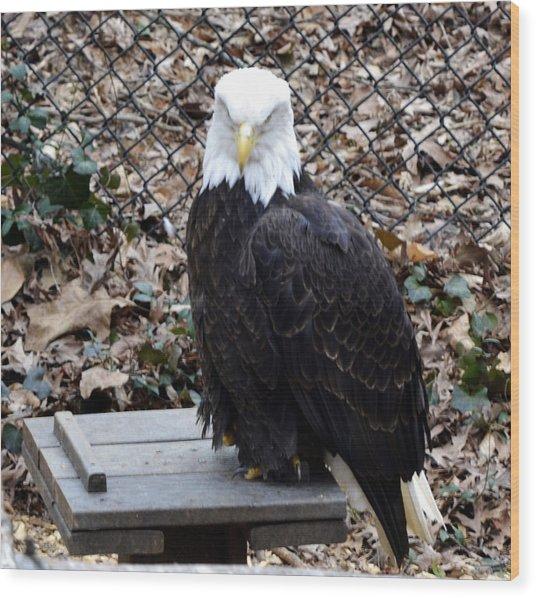 A Bald Eagle Wood Print by Eva Thomas
