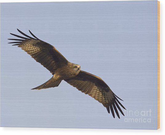 A Black Kite Wood Print by Tim Grams
