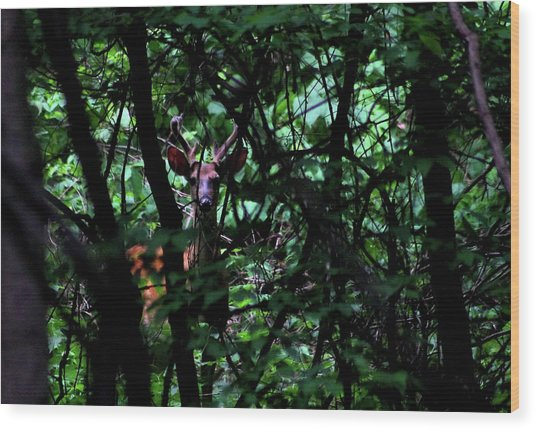 A Buck Peers From The Woods Wood Print