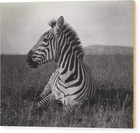 A Burchells Zebra At Rest Wood Print