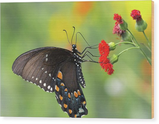 A Butterfly  Wood Print