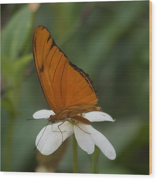 A Butterfly Lands Upon A White Flower Wood Print by Susan Heller