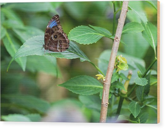 Wood Print featuring the photograph A Butterfly Waiting by Raphael Lopez