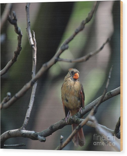Wood Print featuring the photograph A Cardinal's View From The Treetops In Central Park by Patricia Youngquist