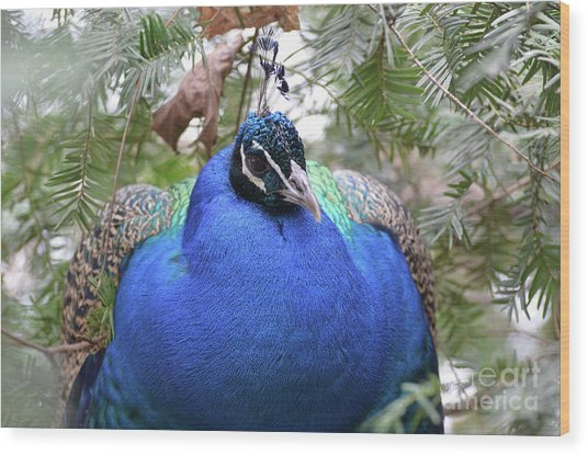 A Close Up Look At A Blue Peafowl Wood Print