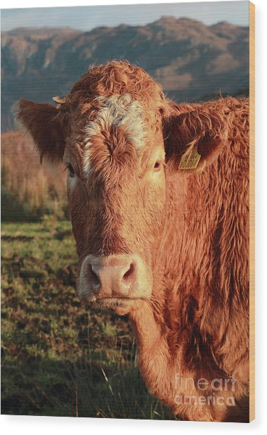 A Curious Red Cow Wood Print