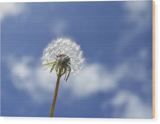 A Dandelion Flower Wood Print