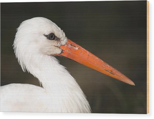 A European White Stork At The Lincoln Wood Print