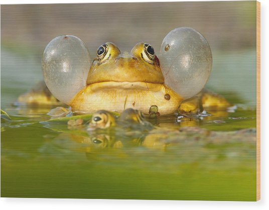 A Frog's Life Wood Print