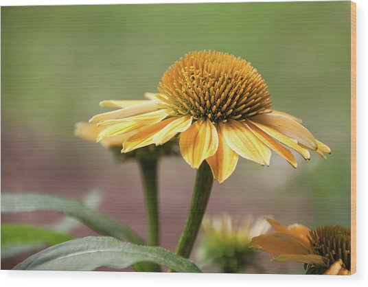 A Golden Echinacea -  Wood Print