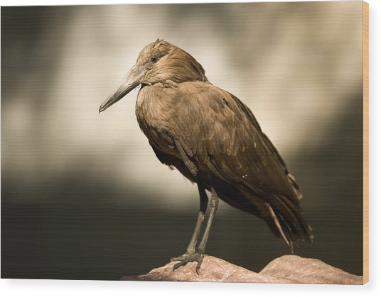 A Hammerkop At The Lincoln Childrens Wood Print