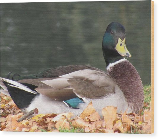 A Handsome Mallard Wood Print