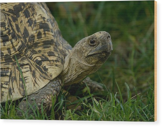A Leopard Tortoise At The Lincoln Wood Print