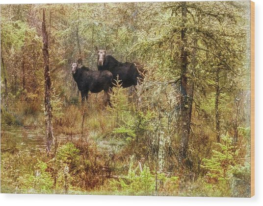 A Mother And Calf Moose. Wood Print
