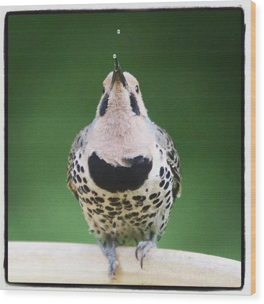 A Northern Flicker Blowing Bubbles At Wood Print